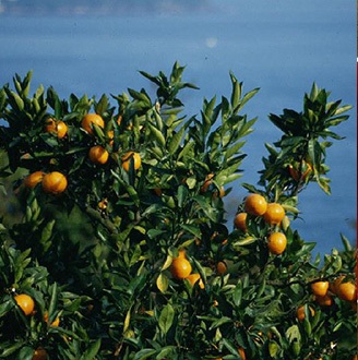 Yugawara Tangerine